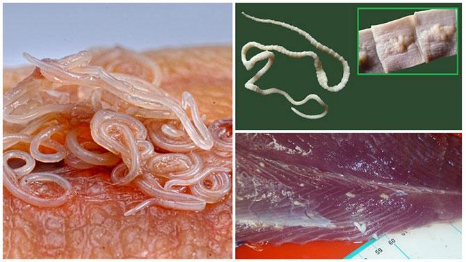 Личинки гельминтов в рыбе