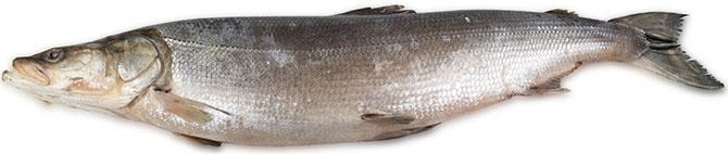 Окраска рыбы нельма