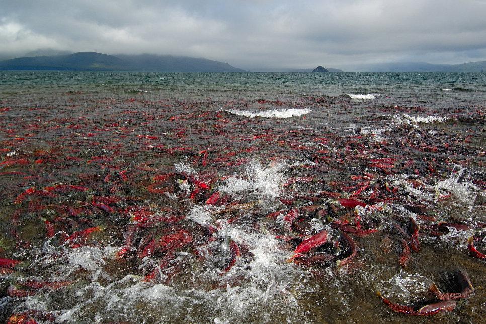 Нерка или «красная» - ценная рыба семейства лососевых