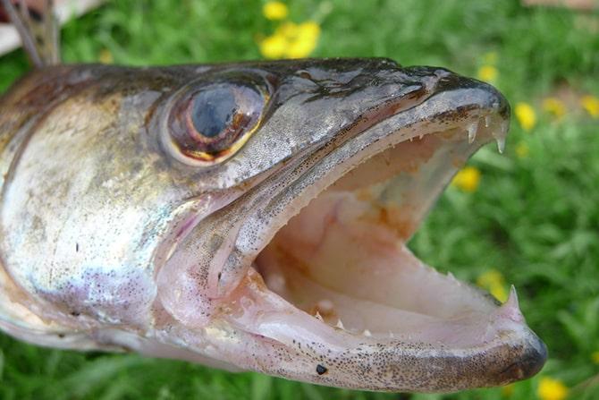 Пасть, клыки и зубы у рыбы судак