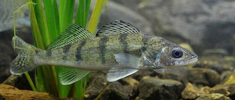 Рыба берш - особенности, среда обитания, техника ловли, приманки
