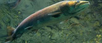 Рыба Таймень: характерные особенности, методики ловли