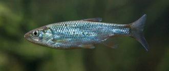 Рыба Уклейка - типичный представитель пелагических карповых