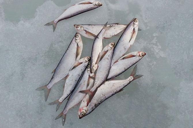 Рыбалка на чехонь зимой