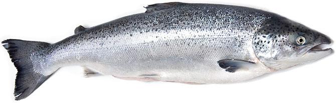 Тело лосося