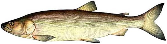 Внешний вид рыбы нельма