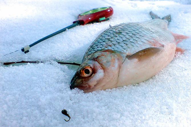 Зимняя ловля сибирской плотвы, чебаки