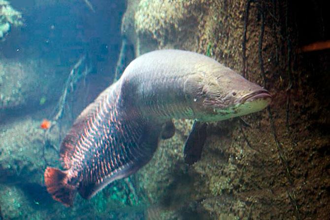Рыба Арапайма - Как найти и распространение