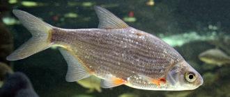 Густера - рыба семейства карповых, описание, ловля