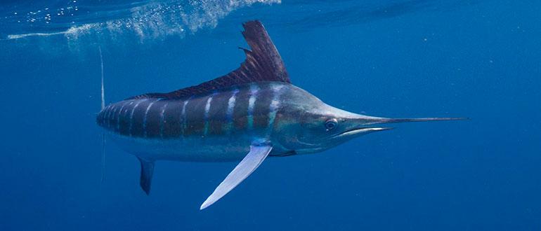 Марлин - рыба с носом-кинжалом
