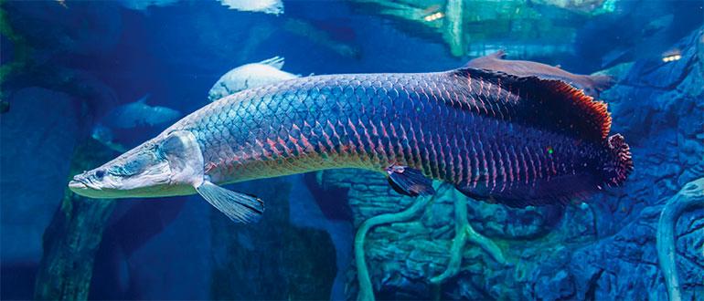 Рыба Арапайма (пираруку) - тропический пресноводный хищник