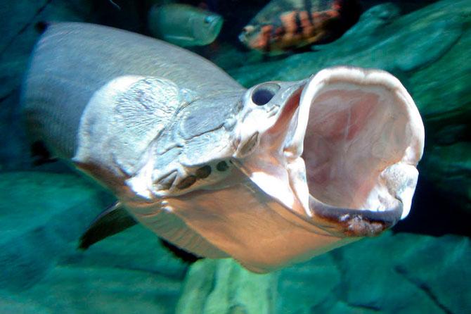 Рыба Арапайма - рацион питания