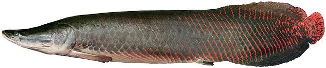 Рыба Арапайма- внешний вид