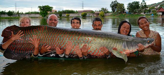 Рыба Арапайма - возраст и размеры