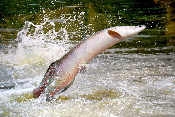 Рыба Арапайма выпрыгивает из воды