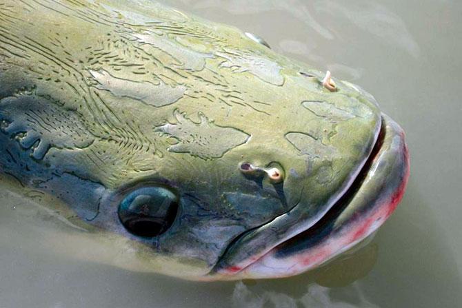 Рыба Арапайма - зрение, органы чувств