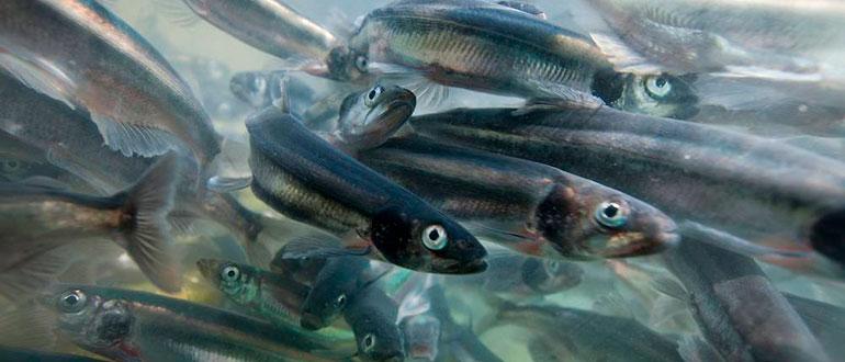 Рыба Мойва или Уёк - мелкий представитель корюшковых