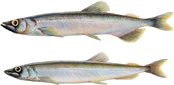 Рыба Мойва или Уёк - внешний вид