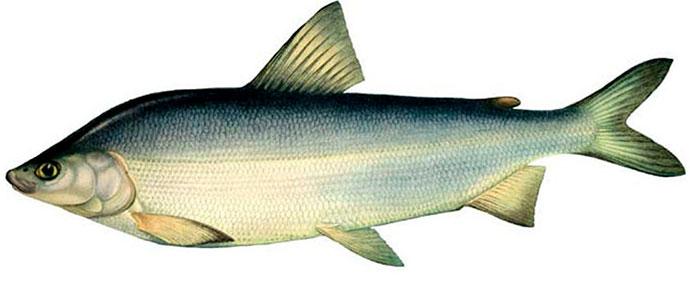 Рыба Муксун - внешний вид