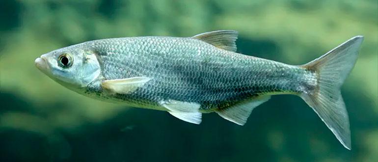 Рыба Шамайка - царская рыба из Черного моя