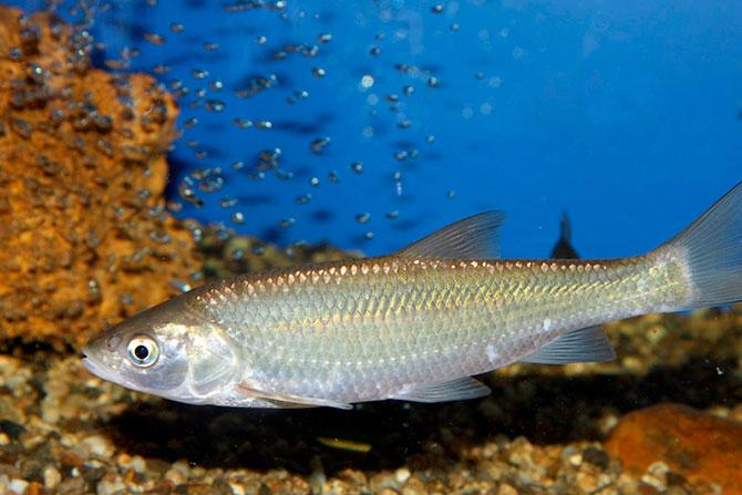 Рыба Шамайка - нерест
