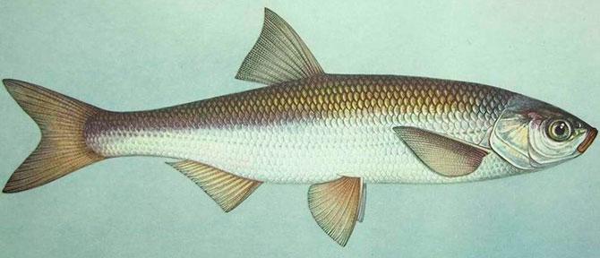Рыба Шамайка - внешний вид