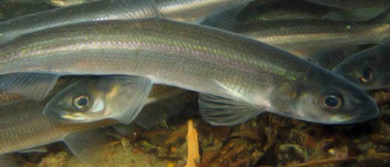 Рыба Тугун (сосьвинская селедка) - сибирская селедка рода сигов