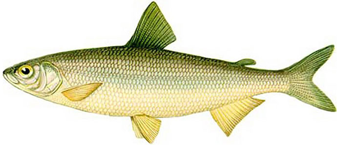 Рыба Тугун - внешний вид