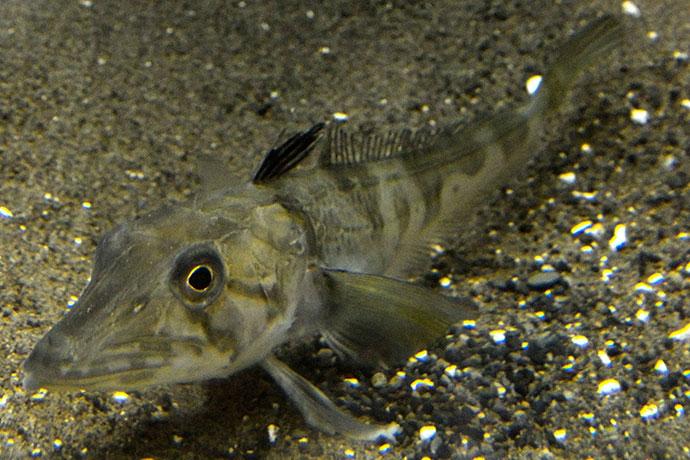 Ледяная рыба (щуковидная белокровка) - поведенческие черты