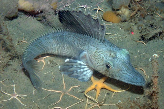 Ледяная рыба (щуковидная белокровка) - Поведение и образ жизни