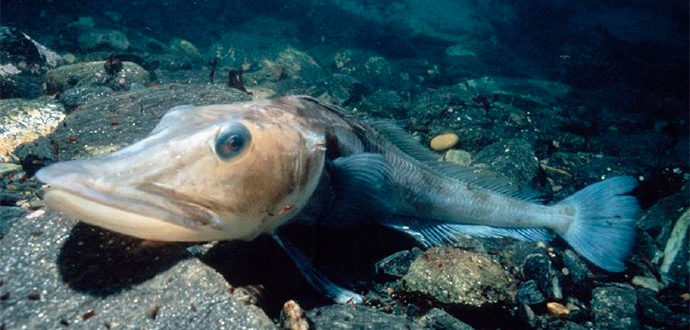 Ледяная рыба (щуковидная белокровка) - рыба покрыта льдом