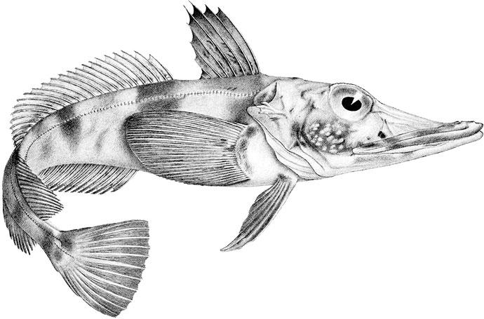Ледяная рыба (щуковидная белокровка) - внешний вид