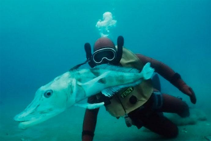 Ледяная рыба (щуковидная белокровка) - возраст и размеры
