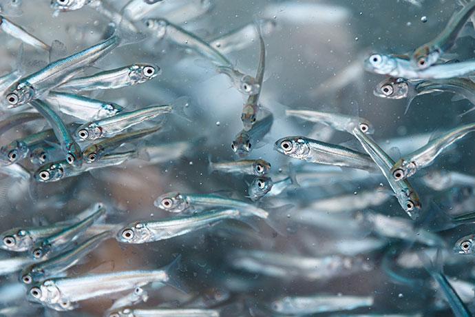Рыба Лобан или Черная Кефаль - мальки