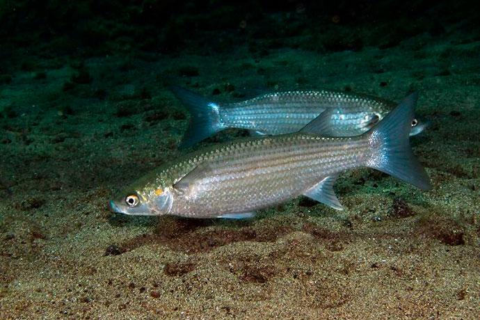 Рыба Лобан или Черная Кефаль - поведенческие черты