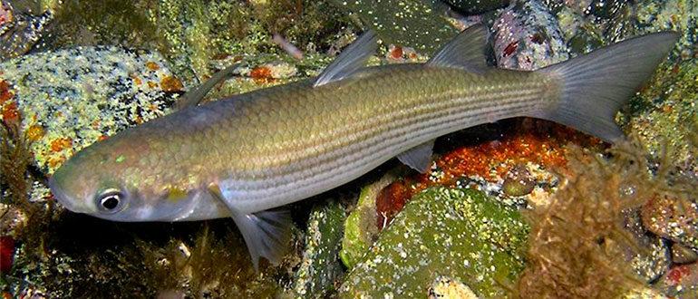 Рыба Лобан или Черная Кефаль - самая крупная из серых кефалей
