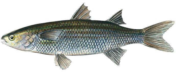 Рыба Лобан или Черная Кефаль - внешний вид