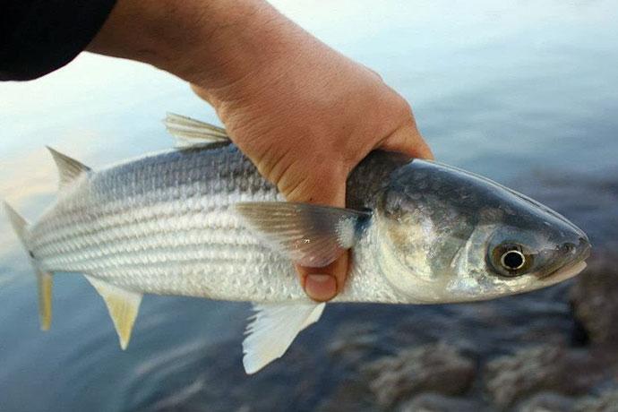 Рыба Лобан или Черная Кефаль - возраст и размеры