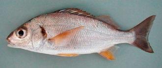 Рыба Простипома - очень редкий деликатес