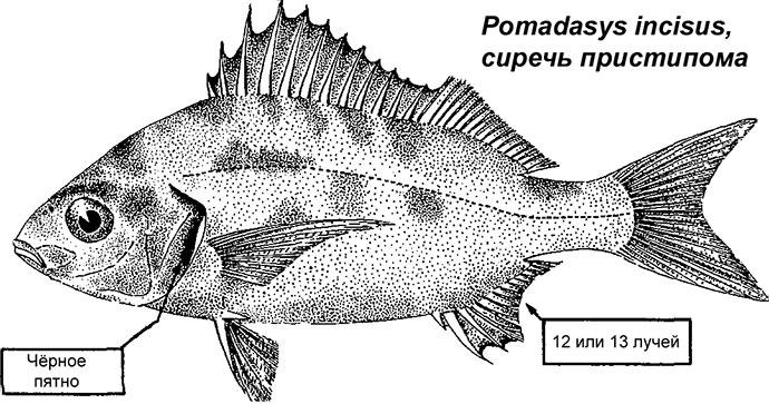 Рыба Простипома - Внешний вид
