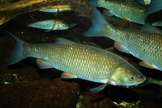Места обитания и образ жизни рыбы голавль