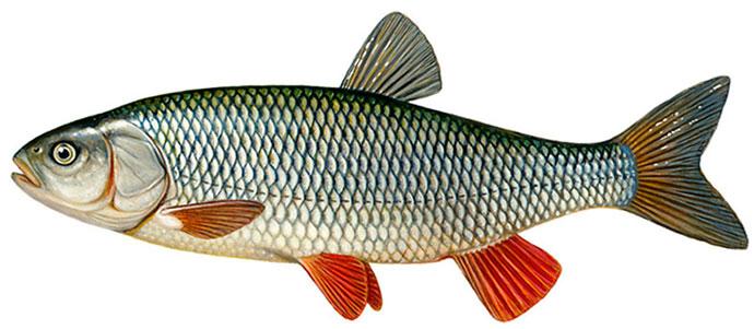 Окрас рыбы голавль