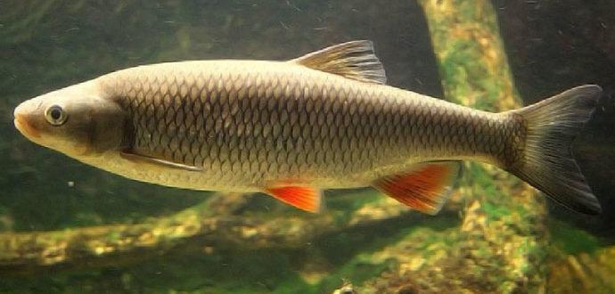 Рыба Голавль - рыба со сверхмощными поклевками