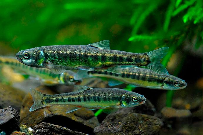 Рыба Гольян - Как найти. Распространение.