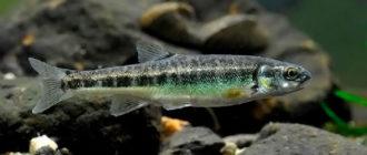 Рыба Гольян - очень мелкий, но агрессивный хищник