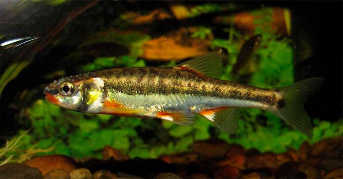 Рыба Гольян - окрас