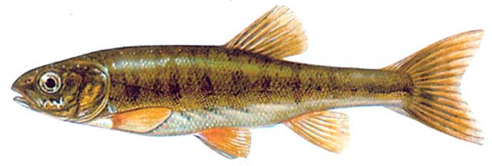 Рыба Гольян - внешний вид