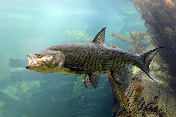 Как охотится рыба жерех