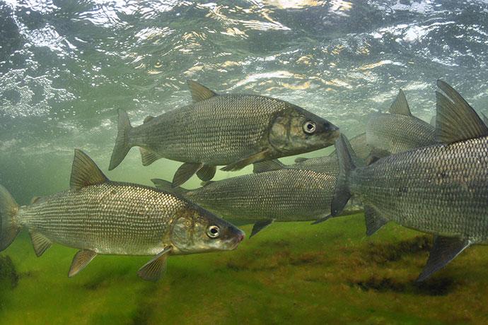 Рыба жерех идет на нерест