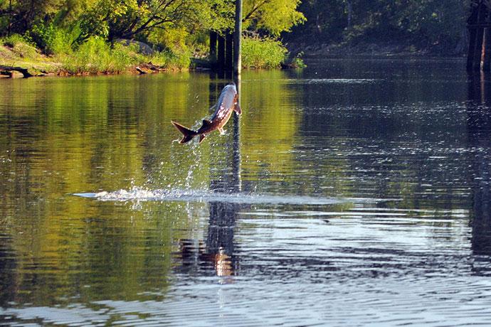 Жерех - прыжок из воды